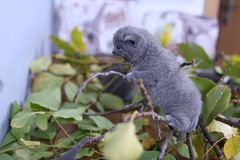 British Shorthair kitten up on a branch. British Shorthair kittens playing with branches of tree, tree trunk and green leaves Royalty Free Stock Photo
