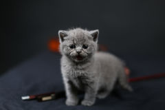 British Shorthair kitten and a violin. British Shorthair baby meowing near a violin musical instrument, closeup view of the kitten Royalty Free Stock Image
