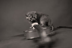 British Shorthair kitten and a violin Royalty Free Stock Photography