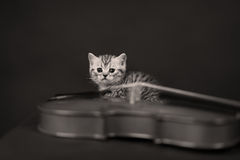 British Shorthair kitten and a violin Stock Photos