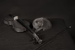 British Shorthair kitten and a violin Royalty Free Stock Photo