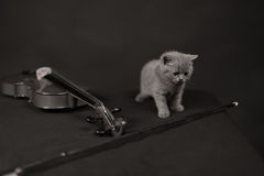 British Shorthair kitten and a violin Stock Images
