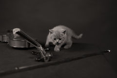 British Shorthair kitten and a violin. British Shorthair baby meowing near a violin musical instrument, closeup view of the kitten Stock Photography