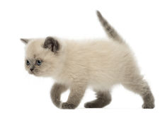 British Shorthair Kitten walking, 9 weeks old Stock Photo