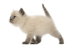 British Shorthair Kitten walking, 9 weeks old Royalty Free Stock Photos