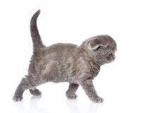 British shorthair kitten walking. isolated on white background Stock Images