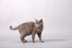 British Shorthair kitten Royalty Free Stock Images