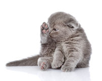 British shorthair kitten washing itself.  on white Stock Image