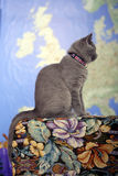 British Shorthair kitten wearing collar Stock Image