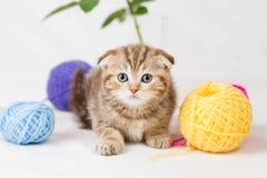 British Shorthair kitten. On white background Stock Photos