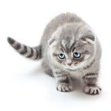 British Shorthair kitten. Kitten on white background.British Shorthair cat Royalty Free Stock Photo