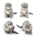 British Shorthair kitten Stock Photo