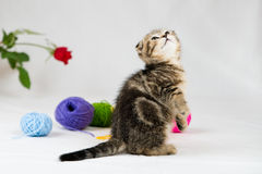 British Shorthair kitten. On white background. Pet in the studio Stock Photography