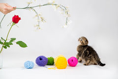 British Shorthair kitten. On white background. Pet in the studio Royalty Free Stock Images