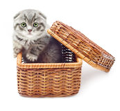 British Shorthair kitten. Kitten on white background in straw basket.British Shorthair cat Royalty Free Stock Photography