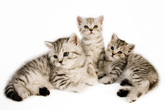 British Shorthair kittens. Stock Images