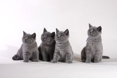 British Shorthair kittens. Group of British Shorthair blue kittens Royalty Free Stock Images