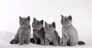 British Shorthair kittens Stock Photos