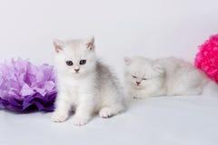 British shorthair kittens. Portrait.  on white Stock Photo