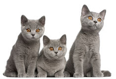 British Shorthair kittens, 3 months old, sitting Royalty Free Stock Photo