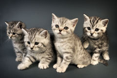 British Shorthair kittens. Royalty Free Stock Photo