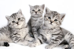 British Shorthair kittens. Royalty Free Stock Photos