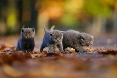 British Shorthair kittens among autumn leaves. British Shorthair kittens running among autumn leaves, outdoors Stock Photos