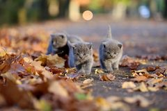 British Shorthair kittens among autumn leaves. British Shorthair kittens run among autumn leaves, outdoors Stock Image