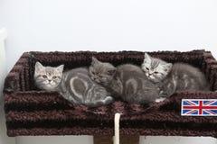 British Shorthair kittens Royalty Free Stock Image
