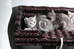 British Shorthair kittens Royalty Free Stock Photo