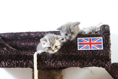 British Shorthair kittens Royalty Free Stock Photos