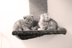 British Shorthair kittens Stock Photos