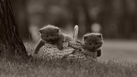 British Shorthair kittens in a basket on the grass. British Shorthair kittens playing among outdoors in the grass stock footage
