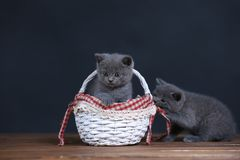 Kittens playing in basket Stock Images