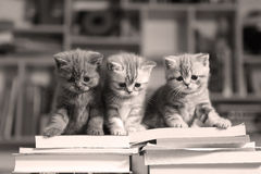 British Shorthair kittens and books. British Shorthair kittens climbing on a bunch of books, in the library Stock Images
