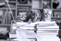 British Shorthair kittens and books royalty free stock image