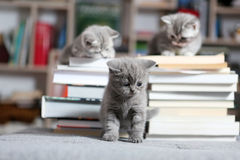 British Shorthair kittens and books stock photography