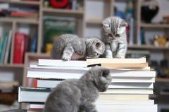 British Shorthair kittens and books Stock Photo