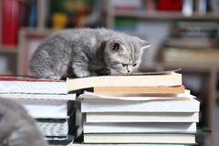 British Shorthair kittens and books Stock Photos