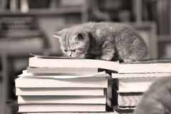 British Shorthair kittens and books Royalty Free Stock Photo
