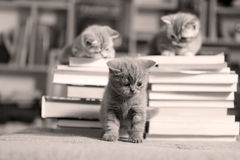 British Shorthair kittens and books Royalty Free Stock Images