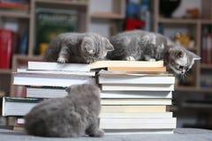 British Shorthair kittens and books. British Shorthair kittens sitting on some books, in the library Stock Image
