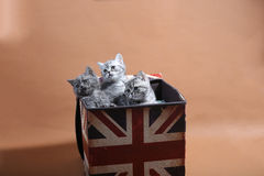 British shorthair kittens in box Stock Images