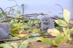 British Shorthair kittens climbing on branches. British Shorthair kittens playing among branches of tree, tree trunk and green leaves Stock Photography