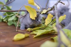 British Shorthair kittens climbing on branches. British Shorthair kittens playing among branches of tree, tree trunk and green leaves Stock Photo