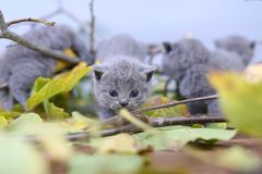 British Shorthair kittens climbing on branches. British Shorthair kittens playing among branches of tree, tree trunk and green leaves Royalty Free Stock Image