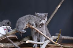 Portrait of British Shorthair kitten climbing on branches. British Shorthair kittens climbing on branches of tree, tree trunk, autumn leaves Royalty Free Stock Image