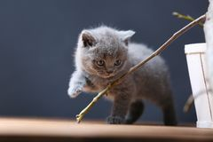 British Shorthair kittens playing among branches. British Shorthair kittens climbing on branches of tree, tree trunk and green leaves Stock Photography
