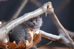 Portrait of British Shorthair kitten playing among branches. British Shorthair kittens climbing on branches of tree, tree trunk Royalty Free Stock Photo