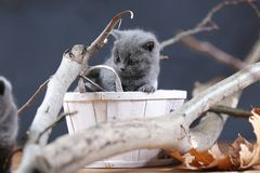 Portrait of British Shorthair kitten playing among branches. British Shorthair kittens climbing on branches of tree, tree trunk Stock Images